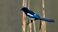 "Magpie ..""Pica pica"" on reeds"