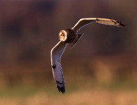 "_D9R8758 .... Short-Eared Owl  ..""Asio flammeus"""