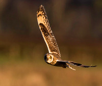 "_D9R8753 .... Short-Eared Owl  ..""Asio flammeus"""