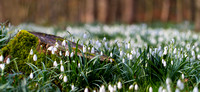 "_D9R2123 .... Snowdrops .... ""Galanthus nivalis"" ....  In woodland scene"