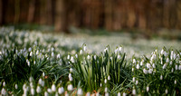 "_D9R2107 .... Snowdrops .... ""Galanthus nivalis"" ....  In woodland scene"