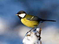 "Great tit on snow covered branch....""Parus major"""