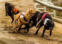 "_D9R0358 No way through for number 5 Greyhounds racing ... ""canis familiaris"""