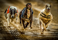 "_D9R0471....... Speed and raw power.. Greyhounds racing ... ""canis familiaris"""