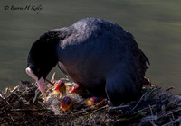 _J9A1926...Coot.... (Fulica atra)  with chicks... heavy crop to avoid high lights