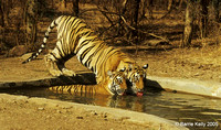 Juvenile Bengal Tigers brother and sister..Ranthambhore National Park  India.