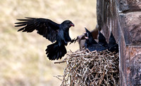 Raven flying in to feed chicks