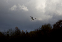 "Mute Swan   Into  stormy clouds  ..... ""Cygnus olor"""