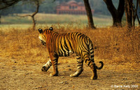 Bengal Tiger.. early morning stroll Ranthhambhore National Park India.