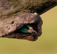 "European Roller ...""Coracias garrulus"" adult bird looking out of nest."