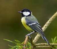 "Great tit on branch....""Parus major"""