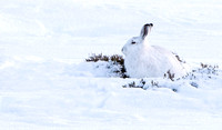 "Mountain Hare  ....""Lepus timidus""     in camouflage"