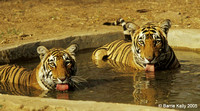 Bengal Tigers cooling off.. Ranthambhore National Park  India.