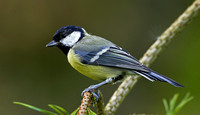 "Great tit on branch ....""Parus major"""