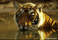 Bengal Tiger cooling off in midday heat.. Ranthambhore National Park India