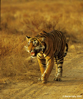 Juvenile Bengal Tiger calling for mother.. Ranthambhore National Park  India.