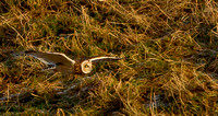 "Short-Eared Owl  ..""Asio flammeus"""