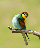 "European Bee-eater ..""Merops apiaster"" Looking into the lens."