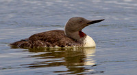 "Red-throated Diver  ......""Gavia stellata"" in summer plumage"