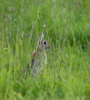 "Wild Rabbit in long grass   ...""Oryctolagus cuniculus"""