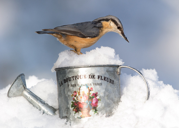 "_D9R9847.....  Nuthatch ...""Periparus ater"""