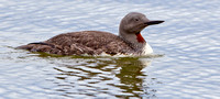"Red-throated Diver in summer plumage  ....""Gavia stellata"""