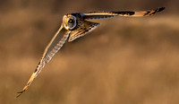 "_D9R8612 ... Short-Eared Owl  ..""Asio flammeus"""