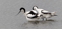 "_D9R4568... Avocet ....""Recurvirostra avosetta""... The party is over."