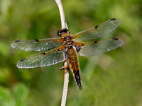 "Male Four-spotted chaser....  ""Libellula quadrimaculata"""